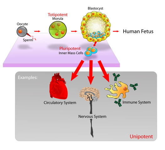 526px-Stem_cells_diagram